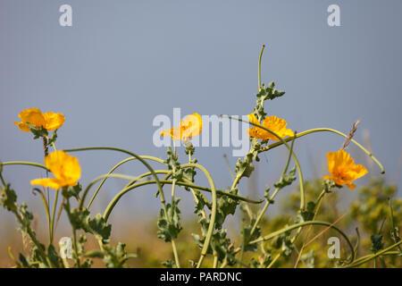 Yellow horned poppy Glaucium flavum. - Stock Image