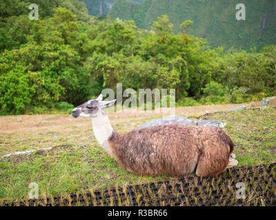 A llama resting on the grass in the Machu Picchu citadel - Stock Image