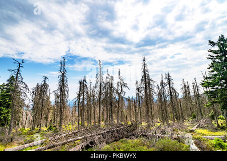 Forest landscape with withered pine trees under a blue sky - Stock Image