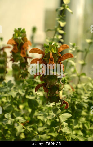 close up view of medicinal sage in bloom, salvia repens orange colored flowers in a glass house in late spring - Stock Image