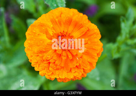 Orange Calendula - Stock Image