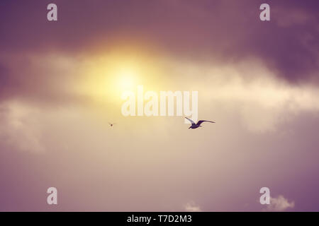 Seagulls flying and hovering towards the sun against a moody dramatic cloudy sky background - Stock Image