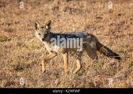 Side view of a solitary Black-backed Jackal, Canis mesomelas, looking at camera,walking in Ol Pejeta Conservancy, Samburu, Northern Kenya, East Africa - Stock Image