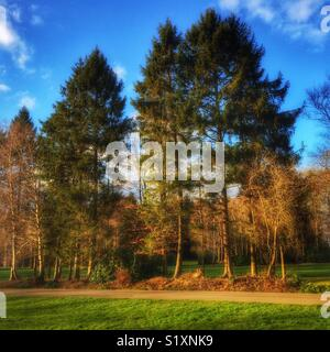 Pines trees on golf course road, Paulins Park, Hampshire, England, UK - Stock Image