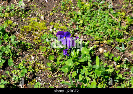 Spring time purple garden pansy flower bloom - Stock Image