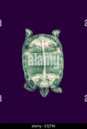 Spur-thighed Tortoise or Greek Tortoise (Testudo graeca) under x-ray top view - Stock Image