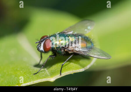 Closeup macro of a Common Green bottle Fly (Lucilia sericata, Greenbottle fly), a blow fly on a leaf in Spring in the UK. - Stock Image