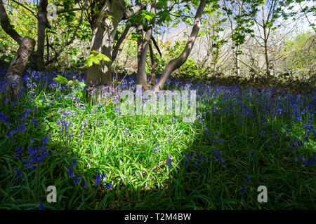 Patches of sunlight illuminate a field of bluebells (Hyacinthoides non-scripta) during spring in a forested area of Shrewsbury, Shropshire, England. - Stock Image
