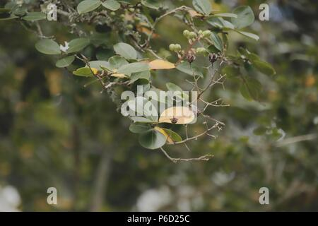 Crepe Myrtle (Lagerstroemia) during summer - Stock Image
