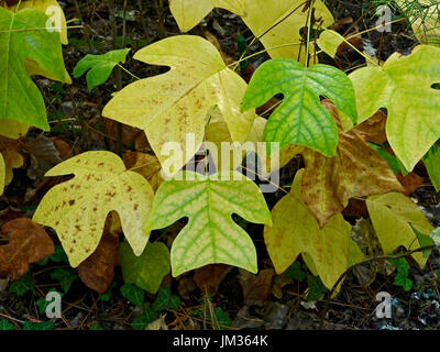 Autumn leaves of the Liriodendron sinensis in a French Country garden - Stock Image