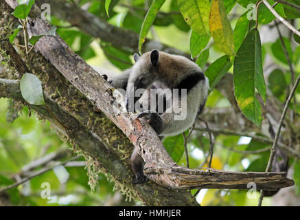 Northern Tamandua or Collared Anteater (Tamandua mexicana) digging for termites in rainforest. Corcovado National - Stock Image