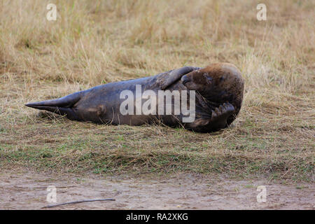 Grey seal bull at Donna Nook nature reserve, Lincolnshire, England - Stock Image
