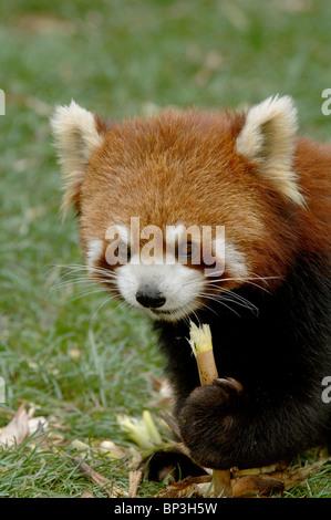 Red or lesser panda eating bamboo stem China - Stock Image