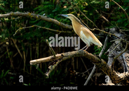 Squacco Heron (Ardeola ralloides) in beautifull sunset light in Danube Delta - Stock Image