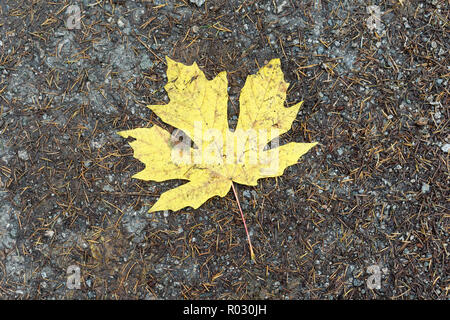 Close-up of a yellow bigleaf maple tree leaf lying on a trail  in Pacific Spirit Regional Park, Vancouver, BC, Canada - Stock Image