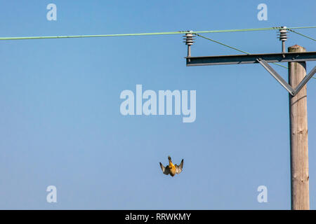 Bird of prey Kestrel (Falco tinnunculus)  diving towards the ground from a telegraph pole - Stock Image