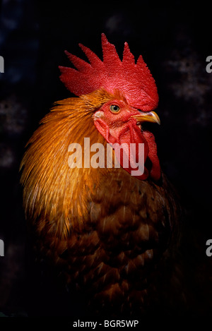 Portrait of a rooster - Stock Image