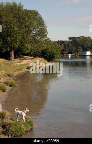 Dog standing on edge of River Thames at Cookham near High Wycombe, Buckinghamshire, England - Stock Image