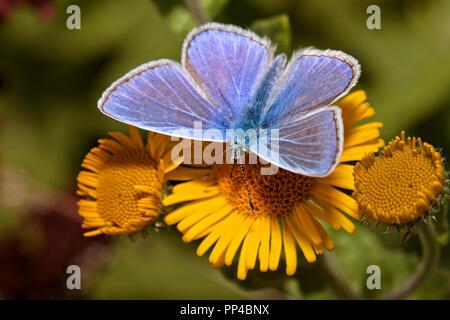 Common Blue Butterfly Berkshire UK - Stock Image
