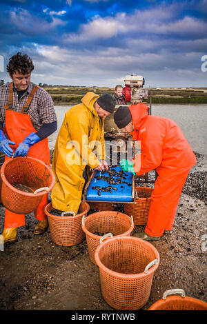 Fishermen preparing mussels on the hard at Brancaster Staithe, Norfolk. - Stock Image