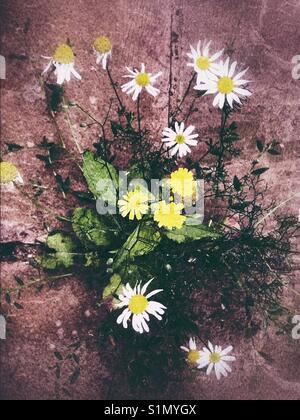 Yellow and white daisies - Stock Image