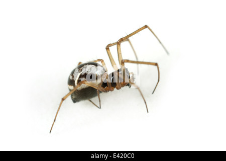 Female Small hanky-weaver (Microlinyphia pusilla), part of the family Linyphiidae - Sheetweb weavers. Isolated on - Stock Image