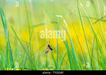Flying Zygaena Trifolii, the Five-spot Burnet in Wiltshire, UK - Stock Image