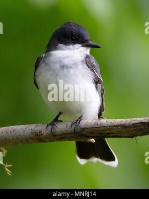 A handsome Eastern Kingbird (Tyrannus tyrannus) perches on a branch in early spring - Stock Image