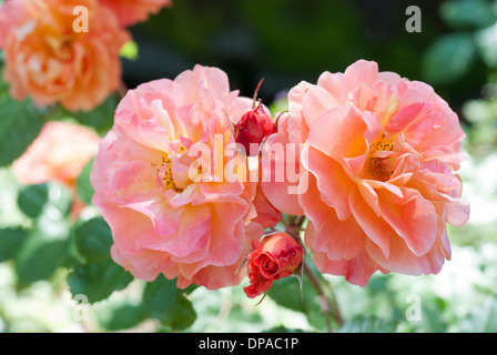 Yellow and pink roses in an English garden - Stock Image