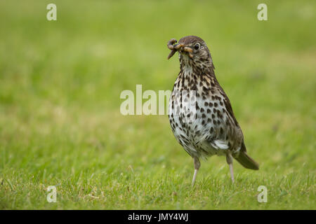 Beautifully speckled Song Thrush in alert stance on green grass in early morning with a worm in its beak - Stock Image