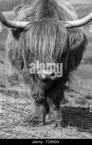 Highland cattle in the Welsh hillsides above Hay-on-Wye Powys UK. March 2019 - Stock Image