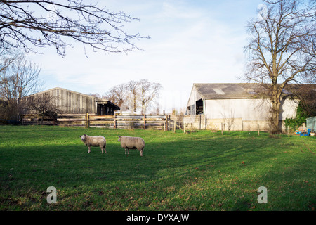 Two sheep at a farm in West Bretton, Yorkshire, United Kingdom. - Stock Image