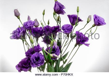 A bouquet of Lisianthus Purple flowers - Stock Image