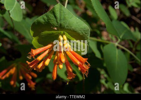 Orange Honeysuckle (Lonicera ciliosa), growing at the 1600-foot level in the Oregon Cascades near Detroit Lake. - Stock Image