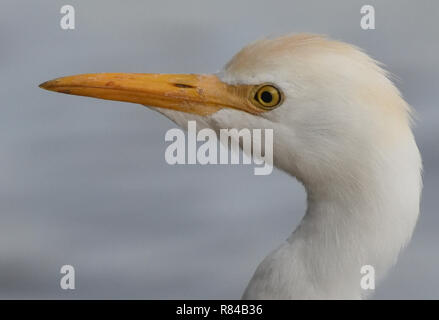 Portrait of a cattle egret (Bubulcus ibis) on the banks of Lake Victoria. Entebbe, Uganda. - Stock Image