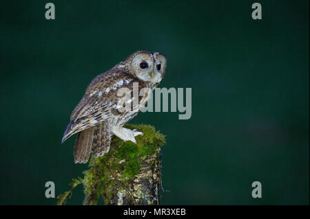 A Tawny Owl (Strix aluco) perched on a branch on a rainy night in the UK - Stock Image