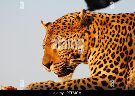 Leopard Portrait, Etosha National park Namibia - Stock Image