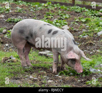 Pig in pasture - Stock Image