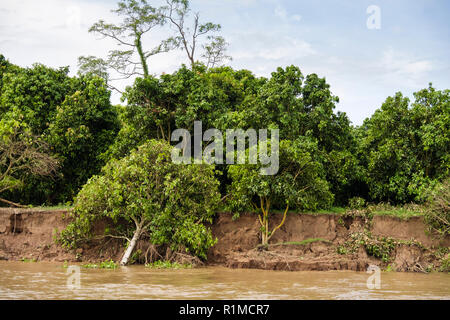 Riverbank erosion with tree roots exposed and trees falling into Mekong River as mud is washed away during rainy season. Cambodia, southeast Asia - Stock Image