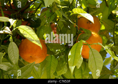 Portugal, Algarve, Pademe, Orange Tree - Stock Image
