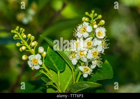 Blossoms of wild Western Chokecherry shrub (Prunus virginiana var. demissa) in late spring, Castle Rock Colorado US. Photo taken in May. - Stock Image