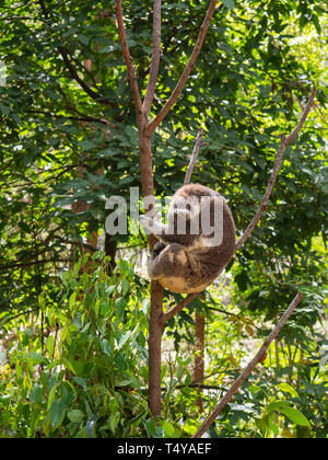 Koala Sleeping In A Tree - Stock Image