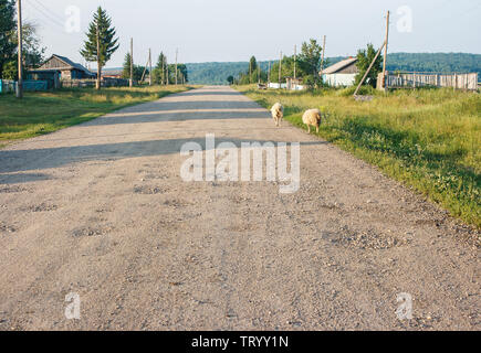 sheeps going on a dirt road in the russian village in the evening on summer - Stock Image