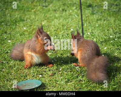 Crosby Ravensworth, Cumbria UK. 9th May 2018. sibling native Red Squirrel (Sciurus vulgaris) kits help themselves to birdfood in a Cumbrian Garden Credit: Steve Holroyd/Alamy Live News - Stock Image