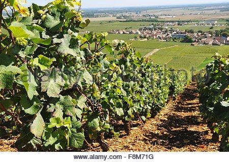 Vineyard Romanee-Contie - Stock Image