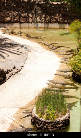 large group of crocodiles sunbathing - Stock Image