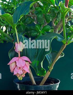 Medinilla magnifica in flower - Stock Image