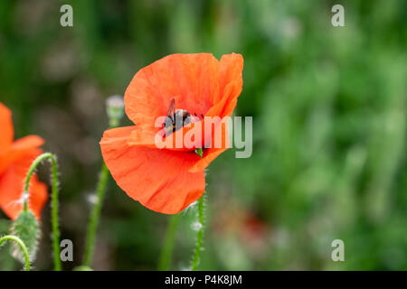 Bumblebee collecting nectar pollen from a poppy wild flower - Stock Image