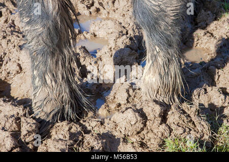 Horse standing in mud - Stock Image
