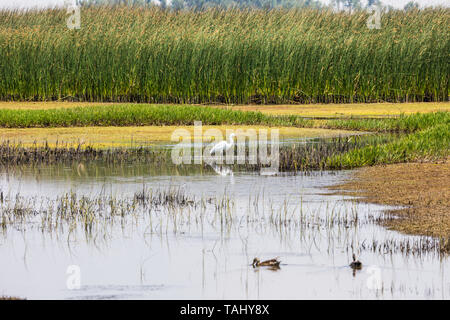 A Lone Egret at the Merced National Wildlife Refuge in the Central Valley of California USA - Stock Image